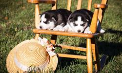 ***Now Accepting Reservations*** Purebred Siberian Husky puppies born October 13, 2015, will be ready for their new homes after December 8, 2015. One black and white female, two black and white males