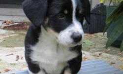 Smart, adorable Augie (Australian Shepherd and Pembroke Welsh Corgi Mix) puppy looking for his forever home. Experience with either breed will be useful. He is great with other dogs, although needs co