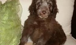 Bendi is a very sweet and smart F1 Aussiedoodle. She was born 07.31.15 and is ready for her new home now! Enjoy both of the smartest breeds in one pup! Mom is a small Silver Standard Poodle (35lbs) an