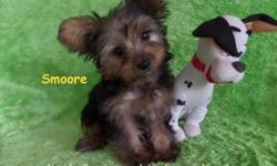 "Come and meet this beautiful adorable prince charming little tiny male yorkie puppy name "" Smoore "" He born on 5/20/2015 and looking for his new home. Smoore has petite features, even though he is tin"