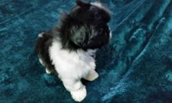 Beautiful little Black & White male Shi Tzu puppies. These puppies are vet checked and first shots and wormed. There are two males. They are 7 weeks old and will be ready to go to their forever home o
