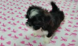 Black & White Female 7 weeks old Vet checked, first shots & wormed. There are 3 females: Feisty Fifi, Spicie, and Bianca. $400.00 each, registered stock but not papered. Will be available to go to the