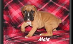We have two adorable CKC boxer puppies for sale (1 female/1 male). This litter was a litter of five. Puppies were born 09/11/2015. Puppies have had their dew claws removed and tails docked by vet. Pup