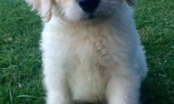Adorable F1 goldendoodle puppies and Double Doodle Vegas available to go home on November 15! I am from Phoenix Arizona and delivering puppies to the area on Sunday. Puppies come with a two-year healt