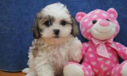 ADORABLE LITTLE TEDDY BEAR (SHIH CHON) PUPPY READY FOR THERE NEW HOME. THET CAN'T WAIT FOR SOMEONE TO RUN AND PLAY WITH AND THEN CUDDLE UP FOR A NAP.THERE FARTHER IS A BICHON FRISE AN MOTHER IS A SHIH