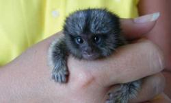 If one of your dreams has ever been to get a well tamed and trained baby Marmoset monkeys, then your dream is almost achieved. I do have a well tamed and trained male and female baby Marmoset monkey t