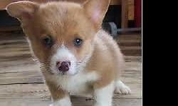 Adorable Puppy for sale!!3 left i have posted three puppies for sales . they are females and male sheltie corgi mix puppys. Pups are vet checked and given 1st shots before leaving and 10 weeks old. Pl