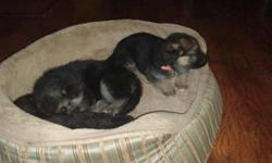 These pups come from wonderful pure breed German Shepherds. Parents in photos. Mother comes from K9 parents. Pups have been handled since birth and all have wonderful temperaments. We have 5 females $