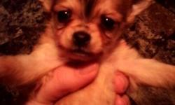 Mommy Chloe had 4 adorable purebred Chihuahua puppies on September 14th!!! All puppies are male, 2 are long haired and 2 are short haired. Both Mom and Dad live on premises. Mom is fawn, short-haired