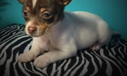 I have (3) registered Chihuahuas, they are very tiny.... Raised in my home, parents 4lb. Up to date on vaccines and womings. Come with food and a health guarantee! 9 weeks old. Female 300.00 Males $25