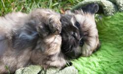 Beautiful Shinese (Shih tzu/Pekingese) puppies for sale. Born August 29th; will be ready for their new homes November 7th. Our puppies are raised in our home with our 3 children and are very well soci