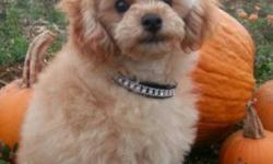SunLite is a Beautiful Small AKC Apricot Male Toy Poodle Puppy. He has a wonderful temperament and has Champion lines. His coat is so soft,and the color of champagne. SunLite is 16 weeks old and curre