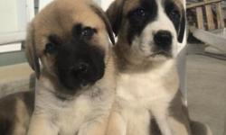 I have a litter of AKC champion bloodline Anatolian shepherd puppies for sale. Excellent livestock guards or family protection, raised with children and are very friendly. $500 each 618-838-1143