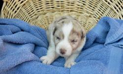 We have a litter of 8 adorable standard Australian Shepherd puppies! Registered with AKC/ASDR ( American Stockdog Registry) and also eligible for registry through ASCA. They were born September 25th 2