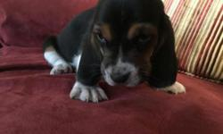 We have a beautiful litter of Akc Basset Hound puppies available for re-homing free to pet loving homes.Puppies were born August 22,2015. 2 female 3 males available . They are family raised with love