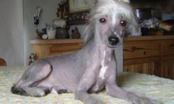 AKC Chinese Crested Hairless Male named Mickey. He is a Slate with white marking puppy, very pretty face and long slender neck, very correctly built. He has very little body hair and is very active an