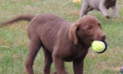 AKC Chocolate Labrador Retriever puppy. Sweet little girl born on 7/18/15. She has had her 1st and 2nd round of shots, up to date on dewormings, dewclaws removed. She comes with AKC paperwork for full