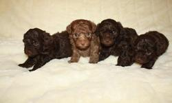 We have a beautiful litter of Toy Poodle puppies. There is 3 males and 1 female. The light brown is the girl. Mom is light brown and dad is a darker brown. Tails have been docked. They are 4 weeks old