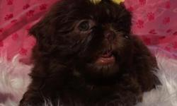 """AKC Champion Lined Chocolate Shih Tzus Puppies now available. 1 - Dark Chocolate female: """"Bliss"""" She is a dark Chocolate sweet and stunning little girl! Price on Bliss is $1300. to a pet home. 1 - Mal"""