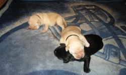 West Side Labradors is a small hobby kennel in West Seattle, WA. Our goal is to produce Labrador puppies that have it ALL  good temperament, good health, happy, beautiful, working ability, and agility
