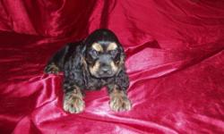 AKC Cocker Spaniel Baby boys from Champion Lines. These adorable puppies were born on 8/13/2015. They come with purebred full AKC registration papework. Puppies have been socialized to be with family,