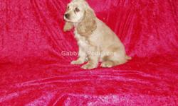 AKC Cocker Spaniel Puppies from Champion Lines. These adorable puppies come with full purebreed AKC registration paperwork. They have been socialized amongst family, kids, other dogs and cats. They ar