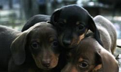AKC MINI DACHSHUNDS. 3 Available. Lil'Bit LARRY & HANK are Rare Isabella (sable color) smooth coat males. ISOBEL is a smooth coat Black & Tan female. Their parents are LOKI a Black&Tan male 11lbs. and