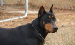 We have been raising dobermans for 13 years and we home raise all of our puppies to ensure proper love, care, and 1 on 1 attention!! All of our puppies are current on shots & wormings before going to