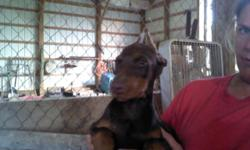 I am offering for sale a Female Doberman pup born August 1st. She has been dewormed, dew claws and tail removed, 1st and 2nd shots, and has had her ears cropped. She is friendly and loves people. Her