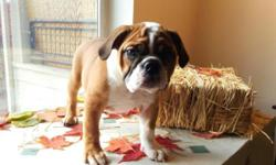 AKC registered English bulldog puppies ready for forever homes now. 1 male/2 females still available. 12 weeks old, potty trained and crate trained. up to date on vaccinations and de-wormer. microchip