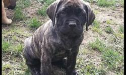 $800 AKC limit Registration Full $400 more. Sire is Fawn with Blk Mask,Dam is Apricot Brindle.This is Dam's 1st Litter ,She will have been wormed,1st set of shots,Puppy papers,Copy of Sire & Dam's Ped