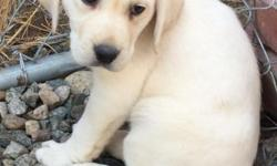 I have a litter of AKC registered white and yellow English lab puppies. They are out of parents that weigh about 60 pounds. The English lab is a calmer stockier lab. Pet price is $850 for males and $9