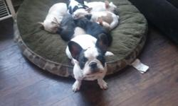 We have ONE female brindle French Bulldog puppy left available.DOB 7/2/15. She has age appropriate vaccines, deworming, & micro-chipped. AKC, champion lines. Also comes with puppy starter kit. She is