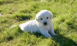AKC English Cream Golden Retriever Puppies with multi-generational Champion Bloodlines We have 3 Females and 8 Males available to loving, approved homes! ~~UPDATE~~ 1 Female and 4 Males available stil
