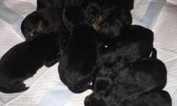 AKC German Rottweiler Puppies for Sale! Merry Christmas to You!! 4 Males & 2 Females Tails Docked and Dew claws removed. Both Parents- I own (have pics) Pups will have 1st shots and deworming before t