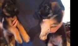 AKC German Shepherd Puppies. Both parents on site. Born Oct. 16th Ready Dec.11th. 8 Puppies ( 4 males,4 females) First shots, dewormed, AKC Papers. Taking $100 deposits now. $600 Please call Dennis An