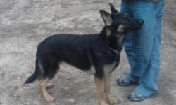 Beautiful AKC black and red female German Shepherd. German bloodlines. 16 months old. Very smart, crate trained Up to date on all vaccines and wormings.