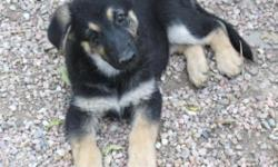AKC German Shepherd female pup. Born 7/18/15. We have one female left. She is black & tan. She is 10 weeks old. Parents are on site. Mom is OFA hips & elbows and DM (clear), she is black & tan. Dad is