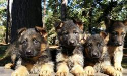 These gorgeous puppies are just awesome. Both parents have great dispositions. Mom has been a great pet to our children and is a major part of the family. I do not own the male but he is awesome, has