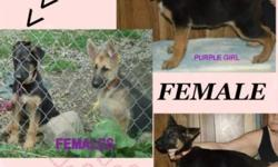 AKC German Shepherd Pups 1 Male,,,, 1 Females Pet to be spayed/neutered $500.00 males, $600.00 for Females, Full Rights $1500.00 Black/Red European & American Show Lines ( Cash or PayPal plus 17.00 fe