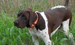 Cal is a broke gundog. Cal hunts with you and for you. Cal has hundreds of birds shot out to him. Cal has actually been utilized as guide canine and is all hectic in the field and relaxeded around the