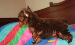 AKC chocolate female Yorkie pup available, shots and wormed, full health guarantee given, will be about 5lbs grown, ears are up, nice coat, parents on site, started on newspaper training, very playful