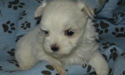 AKC registered male Maltese puppy with full registration.Expected weight about 5 to 6 lbs. A deposit of $100 will hold him for you until se is 8 weeks old and can be delivered on/after Dec 4, 2015. I