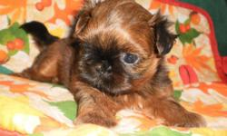 AKC tiny Imperial Shih-Tzu male puppy. This baby is for the serious buyer of high quality tiny Imperial Shih-Tzu puppies. Jayce has an estimated adult weight of 5 lbs. He is a gorgeous dark red mahoga