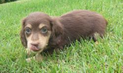 This precious little boy is a chocolate & Cream Long Hair. Mom is also a chocolate & cream reverse dapple. This is her last litter and she will be spayed and retired. Sire is a chocolate based cream.