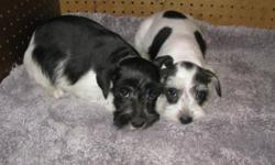 AKC Mini Schnauzers 10 weeks old Price $400--- These puppies are AKC Registered. There are 3 females and 1 male. The male is a dark Salt and Pepper color and one of the females is the same color. The