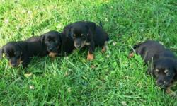Miniature Dachshund Chocolate & Tan Dapple Female for Sale in Cleveland, Tennessee Classified ...