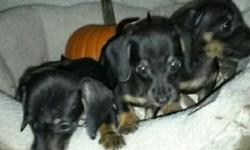 AKC Minature Dachshund champion Bloodline extra small female and 2 males black and tan left Ready for their new loving home Date of birth is August 30 2015. They will be able to go to their new homes