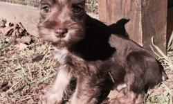 8 week old AKC liver/tan male miniature schnauzer. This little guy turning 8 weeks old on November 2nd. He is the last litter guy from a litter of 7. His mom Star is liver, dad is Turbo my black and w