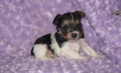 I am currently accepting a deposit on this absolutely precious little AKC registered Parti Yorkshire Terrier male I call Kosmo. Kosmo is from an amazing litter of 7 gorgeous pups born October 5th and